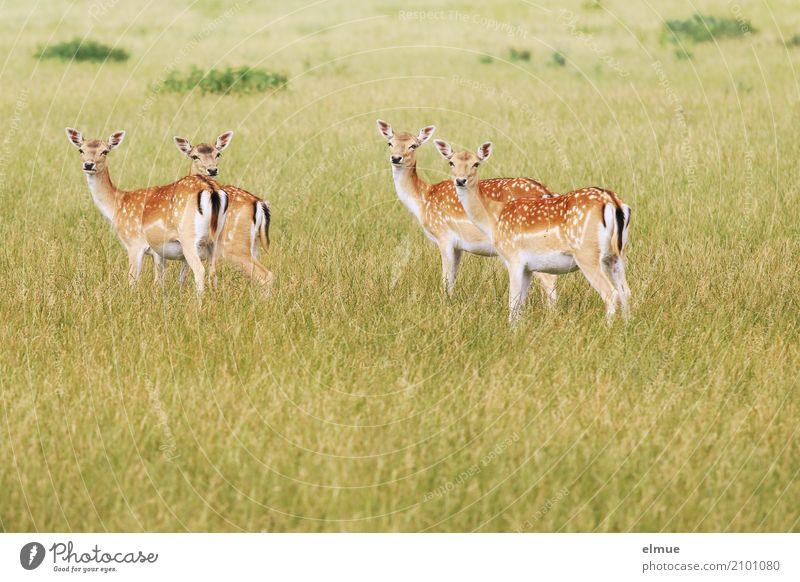 Neugier Natur Tier Sommer Wiese Wildtier Damwild Reh Ricke Rehbraten 4 Bambi beobachten hören stehen ästhetisch elegant Vertrauen Romantik schön Design Idylle