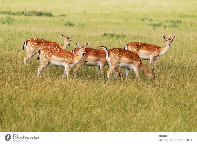 Graskränzchen Umwelt Natur Tier Wildtier Damwild Reh Rehauge Ohr Ricke Rehbraten Tiergruppe Bambi beobachten stehen ästhetisch schön Zusammensein Romantik