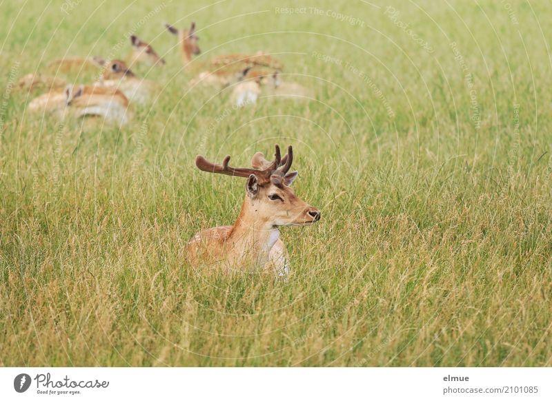 Platzhirsch Natur Tier Wiese Wildtier Damwild Rehwild Hirsche Wildfleisch Tierfamilie Horn Tiergruppe beobachten Erholung liegen elegant Zufriedenheit Vertrauen