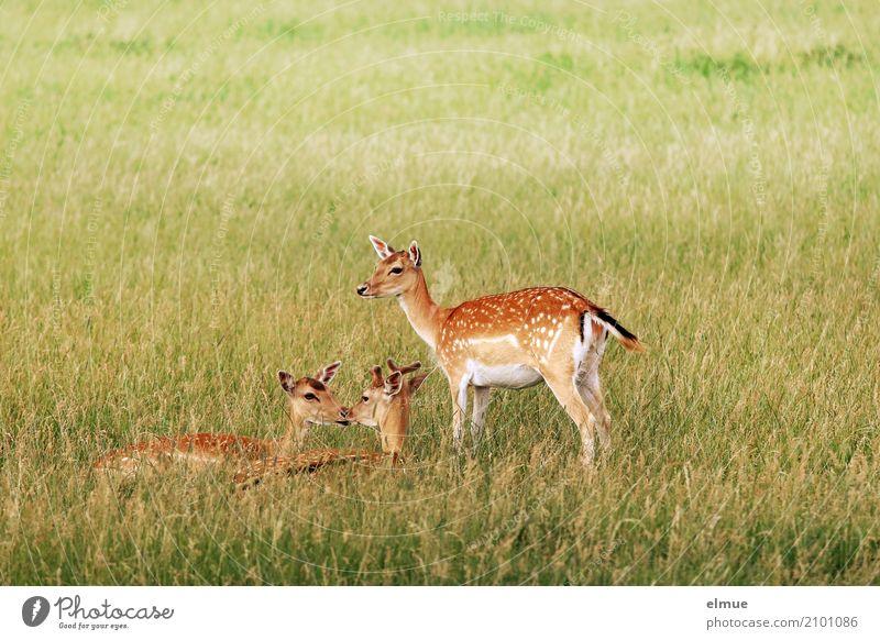Trio Natur Landschaft Tier Gras Wildtier Reh Rehbock Sommerfell Damwild Ricke Rehwild 3 Bambi beobachten liegen stehen elegant Zusammensein schön kuschlig