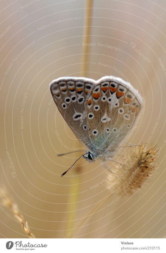 Bläuling zum Träumen Schmetterling 1 Tier genießen Freude träumen Bläulinge Farbfoto Nahaufnahme Makroaufnahme Tag Unschärfe Schwache Tiefenschärfe Pflanze Gras