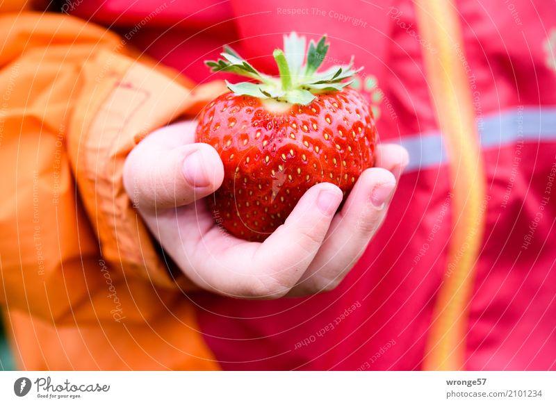 Prachtstück Kind Kleinkind 1 Mensch Sommer Nutzpflanze Erdbeeren frisch Gesundheit groß saftig süß mehrfarbig orange rot Frucht fruchtig Hand Kinderhand
