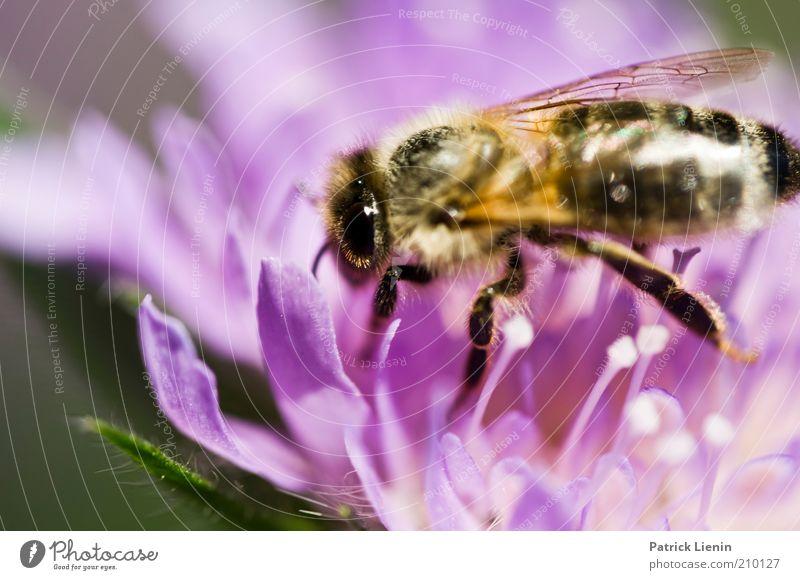 schöns Bienle Natur Blume Pflanze Sommer Tier Blüte hell Umwelt Tiergesicht Klima Flügel Biene Wildtier Schönes Wetter Makroaufnahme Grünpflanze