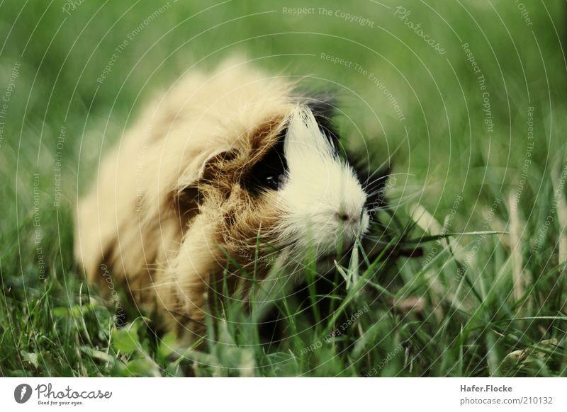 Rasenmäher Tier Wiese Gras warten sitzen nah Fell entdecken niedlich Fressen Haustier kuschlig Schnurrhaar Meerschweinchen Graswiese Nagetiere