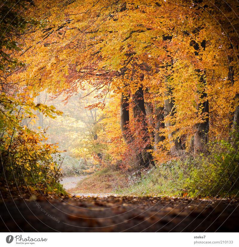 bald wird es wieder bunt Landschaft Herbst Wald Duft Sauberkeit Wärme braun gelb gold Wege & Pfade Fußweg Blätterdach Laubwald Tunneleffekt Farbfoto