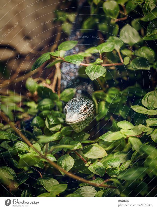 Ausblick Tier Tiergesicht 1 beobachten blau braun grün Deckung blauer Leguan Leguane Blatt Farbfoto Nahaufnahme Menschenleer Textfreiraum links