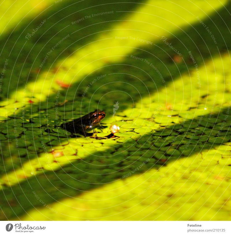 kleiner Hüpper Umwelt Natur Pflanze Tier Urelemente Wasser Sommer Wärme Teich Wildtier Frosch Tiergesicht 1 Tierjunges hell nass natürlich grün Wasserlinsen