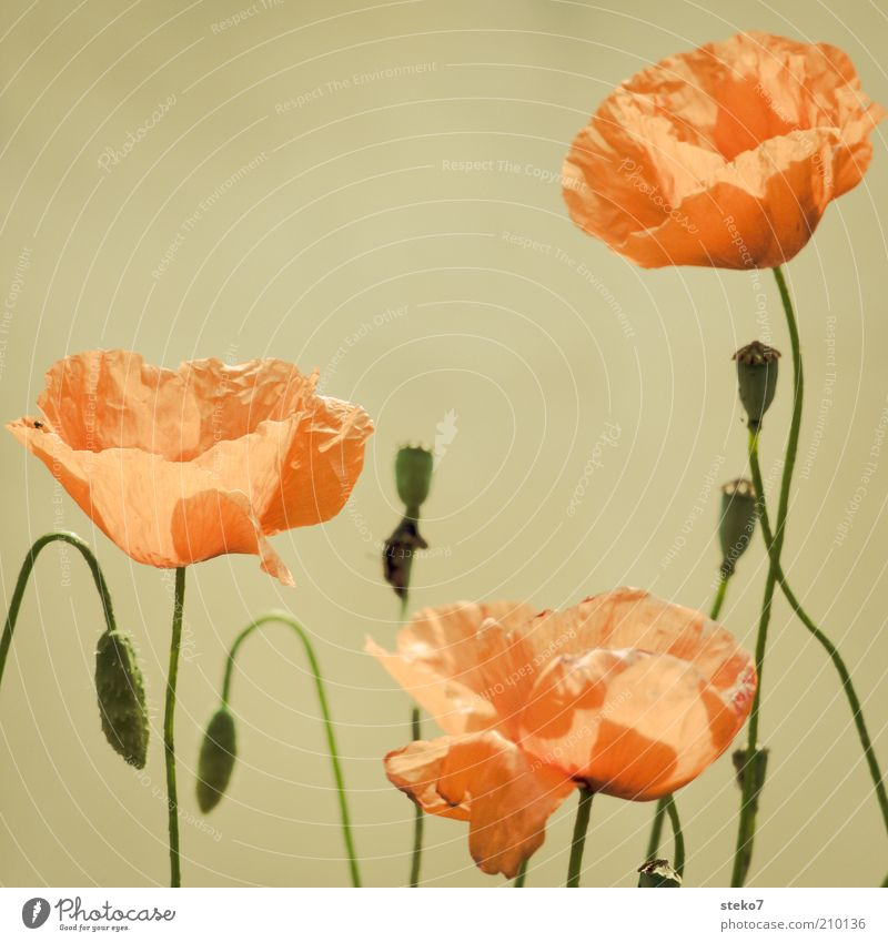 nicht bügelfrei Blume grün Pflanze rot Blüte weich zart Stengel Blühend Mohn Leichtigkeit Blütenblatt Mohnblüte Mohnkapsel