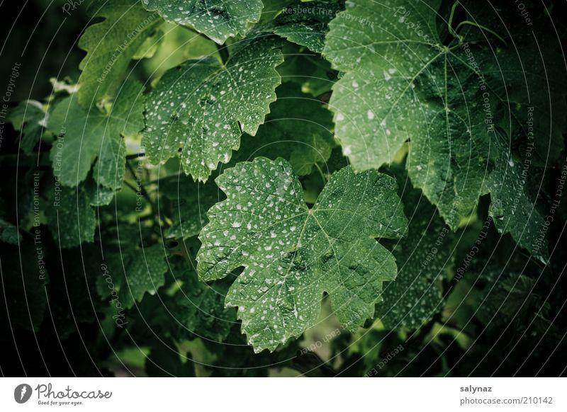 weindusche Natur weiß grün Pflanze Sommer Blatt schwarz Umwelt Wein Fleck Rest trocknen scheckig Grünpflanze Nutzpflanze besprüht