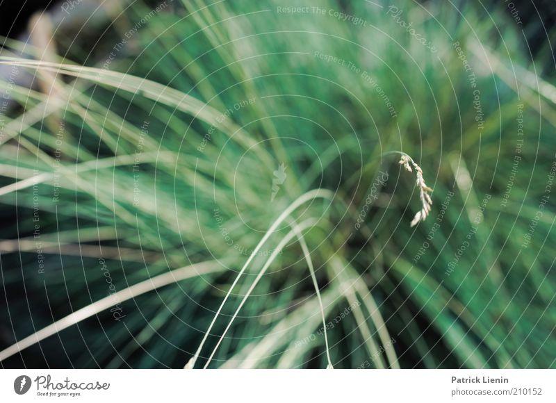 scharfes Gras Umwelt Natur Pflanze Sommer Grünpflanze Wildpflanze grün weich zart Farbfoto Außenaufnahme Nahaufnahme Menschenleer Tag Licht Kontrast Unschärfe