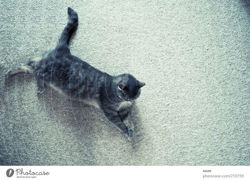 Graue Maus Katze Tier Erholung grau klein liegen niedlich beobachten Neugier Gelassenheit Haustier Hauskatze kuschlig Teppich Schwanz ausgestreckt
