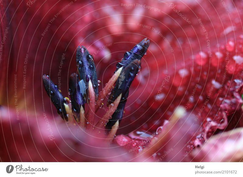 nass geworden ... Natur Pflanze Sommer rot schwarz Leben Umwelt Blüte natürlich klein außergewöhnlich Garten Regen Wachstum Wassertropfen Blühend