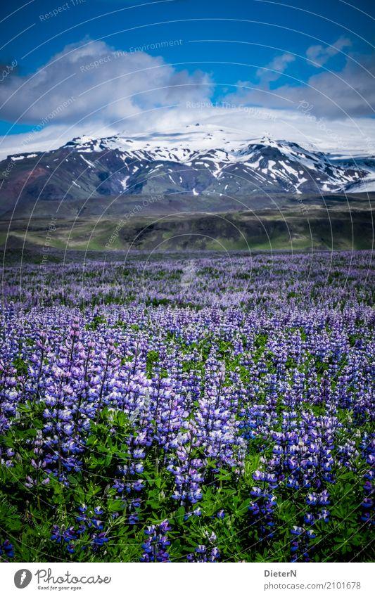 Lupinen Felder Umwelt Landschaft Pflanze Luft Himmel Wolken Sommer Wetter Schönes Wetter Schnee Blume Blatt Grünpflanze Wildpflanze Wiese Berge u. Gebirge