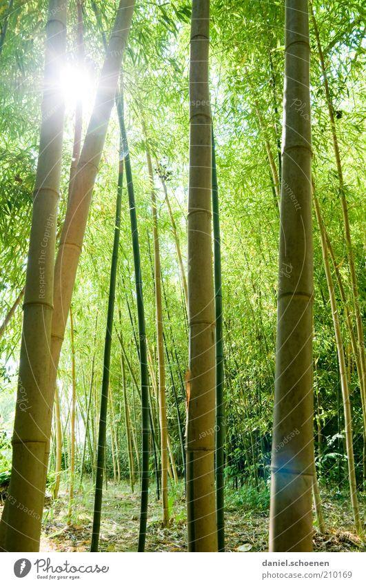neulich im Wald Natur Sonnenlicht Pflanze grün Bambus Schatten Sonnenstrahlen Gegenlicht blenden Bambusrohr hoch