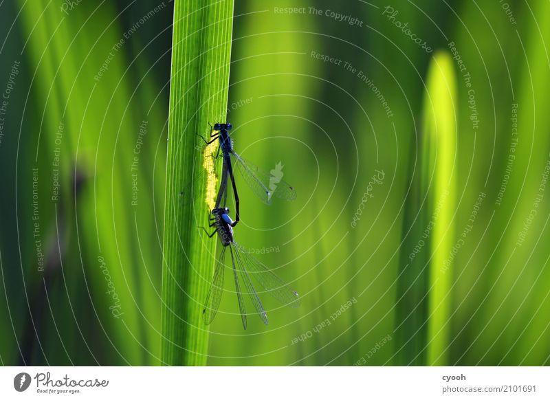 Zu zweit. Natur blau Sommer grün Tier Leben Gras leuchten Tierpaar elegant Beginn beobachten entdecken Insekt Schilfrohr Leichtigkeit