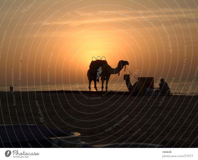 Desert meets sea Wasser Wüste Naher und Mittlerer Osten Dubai Kamel