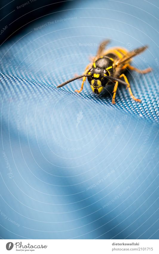 Wespe Umwelt Natur Tier Klima Klimawandel Nutztier Wildtier fliegen natürlich gefährlich Insektensterben Wespen Stachel Umweltschutz Umweltverschmutzung schön