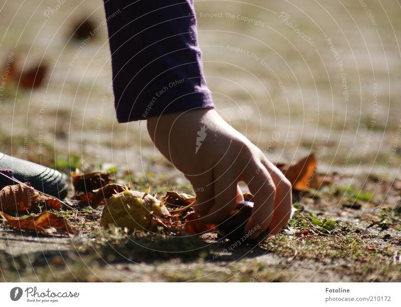 Kastanien sammeln Mensch Kind Natur Hand Pflanze Herbst Umwelt hell Erde Arme Finger natürlich Urelemente entdecken Sammlung Stachel