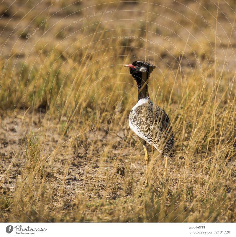 Auf der Pirsch ;-))) Umwelt Natur Landschaft Frühling Sommer Wärme Dürre Gras Feld Wüste Namibia Afrika Menschenleer Tier Wildtier Vogel Tiergesicht Flügel Fell