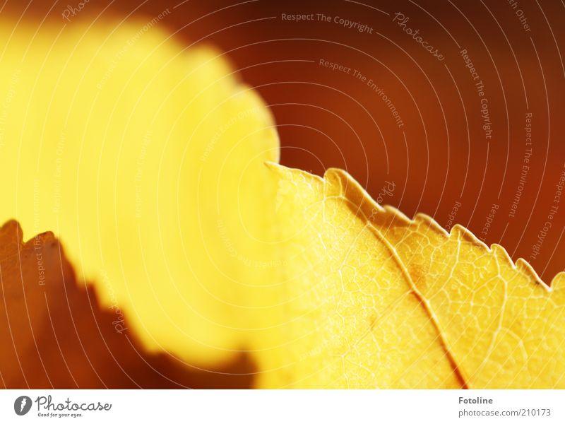 Leuchten Umwelt Natur Pflanze Herbst Blatt hell natürlich leuchten Farbfoto mehrfarbig Außenaufnahme Textfreiraum oben Tag Sonnenlicht herbstlich Herbstfärbung