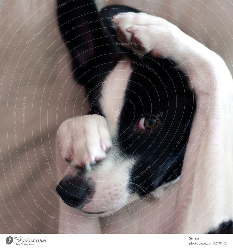 Kuckuck ruhig Auge Tier Spielen Glück Hund Zufriedenheit klein Nase verrückt Tiergesicht beobachten Fell Müdigkeit niedlich verstecken