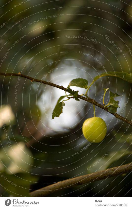 abhängen Natur Baum grün Pflanze Blatt klein Umwelt Frucht Wachstum Ast natürlich Zweig einzeln Obstbaum Pflaume