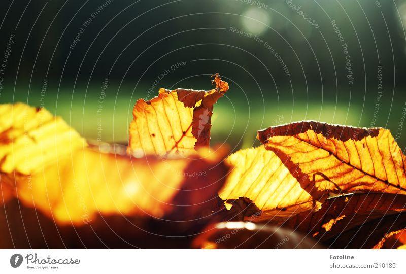 herbstliche Vorfreude Natur Pflanze Blatt Herbst Wärme hell Hintergrundbild Umwelt natürlich leuchten Blattadern Herbstlaub welk durchleuchtet