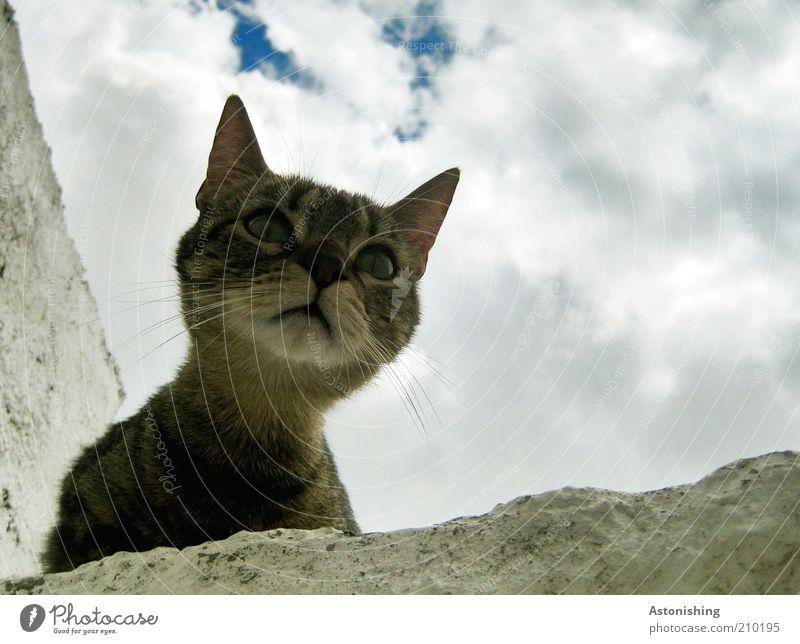 """""""Miau?"""" Himmel Wolken Sommer Tier Haustier Katze Tiergesicht 1 Blick frech natürlich Neugier blau braun grau weiß Schnurrhaar Hals Auge Hauskatze Katzenkopf"""