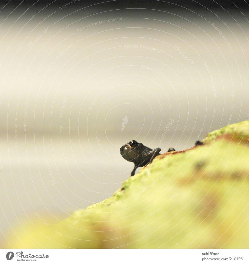 Reinhold macht schlapp Frosch 1 Tier Tierjunges hocken klein Einsamkeit einzeln winzig Schlechte Laune Nahaufnahme Makroaufnahme Froschperspektive
