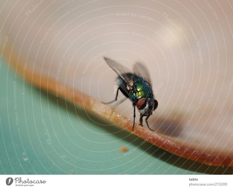 Brunch Lebensmittel Wurstwaren Ernährung Tier Wildtier Fliege 1 Fressen glänzend braun grün gefräßig Sauberkeit Flügel Facettenauge Ecke Insekt Farbfoto