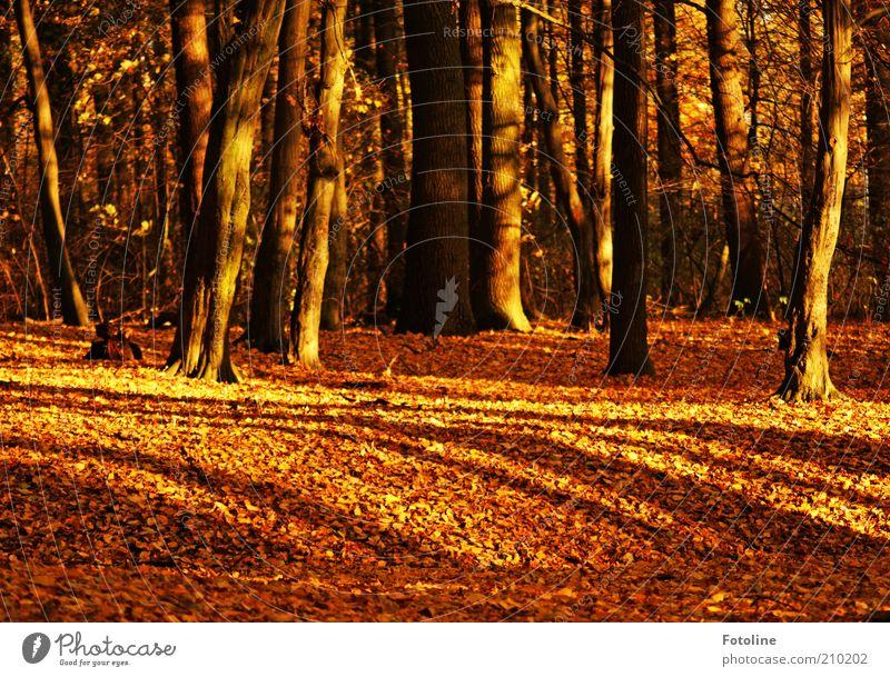 299 Bäume Umwelt Natur Urelemente Erde Herbst Pflanze Baum Blatt Wildpflanze Wald natürlich braun gold Märchenwald Farbfoto mehrfarbig Außenaufnahme Tag Licht