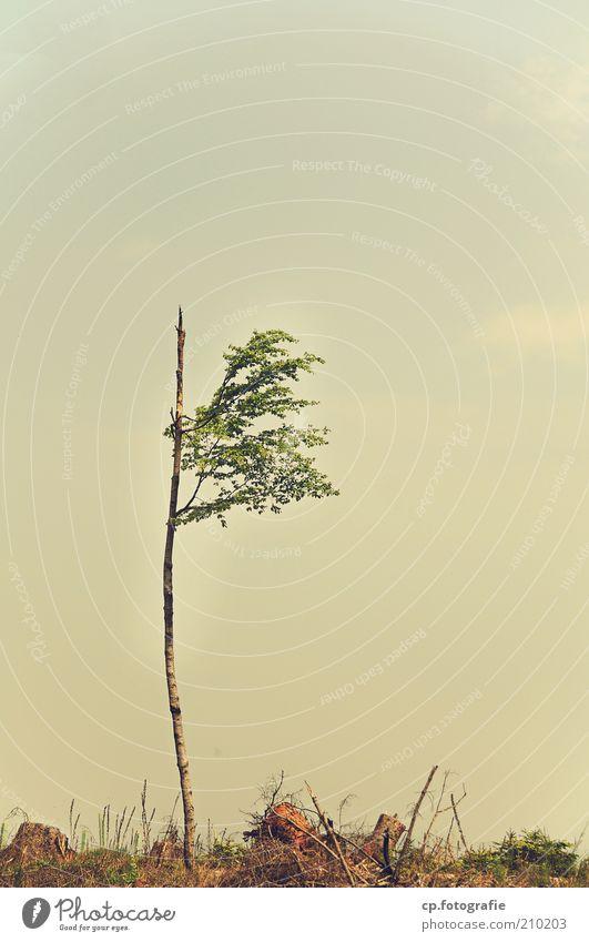 Einzelkämpfer Himmel Natur Baum Pflanze Sommer Einsamkeit Landschaft klein einzeln Ast Unwetter Zweig gebrochen Klimawandel Rest Geäst