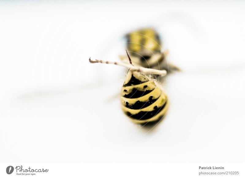 dead wasp Natur schön schwarz Tier gelb Umwelt authentisch liegen Hinterteil Flügel Spitze natürlich außergewöhnlich entdecken leuchten Wildtier