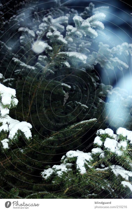 The Ghosts Of Christmas Eve Winter Schnee Winterurlaub Umwelt Natur Pflanze Eis Frost Holz atmen frieren blau grün weiß Tanne Tannennadel Nadelbaum kalt spät