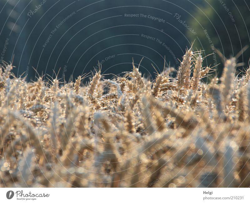 Weizen in der Abendsonne Umwelt Natur Pflanze Sonnenlicht Sommer Schönes Wetter Nutzpflanze Getreide Ähren Kornfeld Halm Feld glänzend leuchten Wachstum