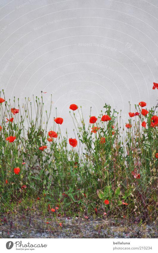 Köpfe hoch... Natur weiß grün schön Pflanze rot Sommer Blume Wand Umwelt grau Gras Blüte Wetter Erde trist