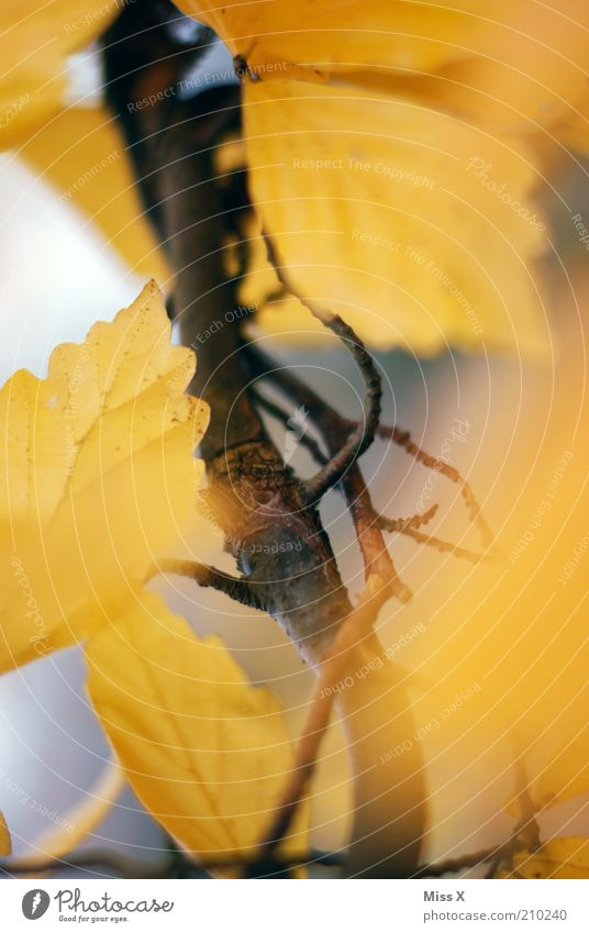Es herbstelt Herbst Baum Blatt gelb gold herbstlich Herbstlaub Buche Zweige u. Äste Farbfoto mehrfarbig Außenaufnahme Nahaufnahme Menschenleer