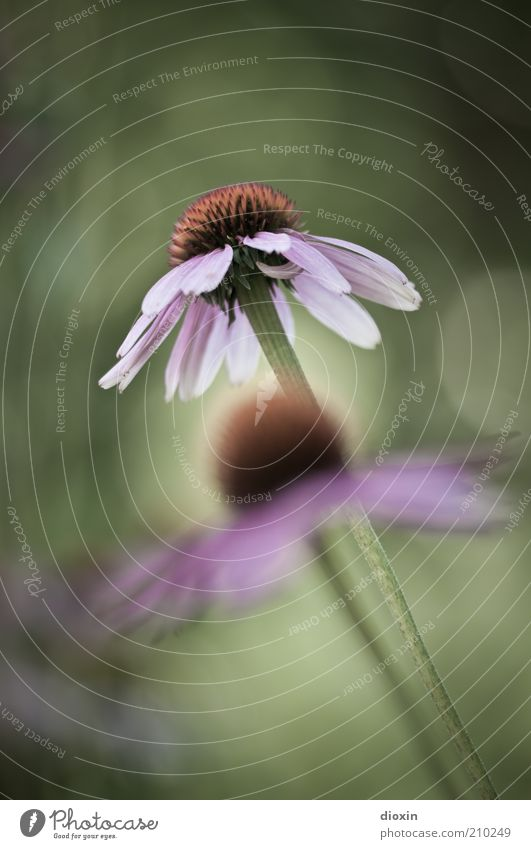 Echinacea purpurea N°2 Umwelt Natur Pflanze Blume Blüte Roter Sonnenhut Heilpflanzen Blühend Duft Gesundheit natürlich schön grün rosa Farbfoto Außenaufnahme