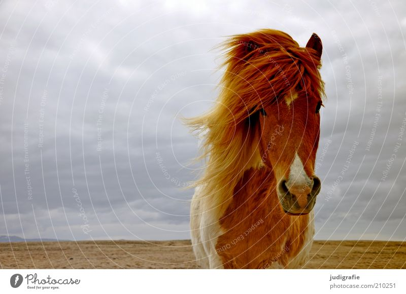 Island Natur Himmel Wolken Tier Ferne Kopf Landschaft Stimmung warten Wind Umwelt Pferd ästhetisch stehen Klima wild