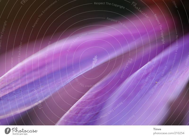 Im Land der Elfen Pflanze Sommer Blüte rosa weich violett zart Blütenblatt Roter Sonnenhut
