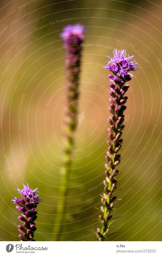 1950 Umwelt Natur Pflanze Sträucher Blüte Blühend Wachstum schön grün violett rosa Prachtscharte Farbfoto mehrfarbig Außenaufnahme Schwache Tiefenschärfe