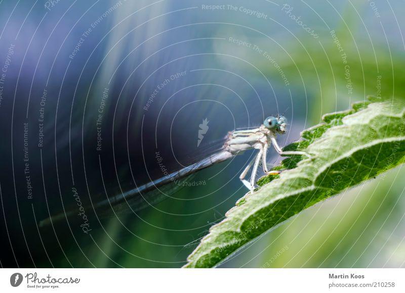 Li (e) be_lle auf den ersten Blick Natur Pflanze Tier Blatt 1 Fressen krabbeln groß rund blau Libelle Insekt ästhetisch schön Anmut Starrer Blick Wachsamkeit