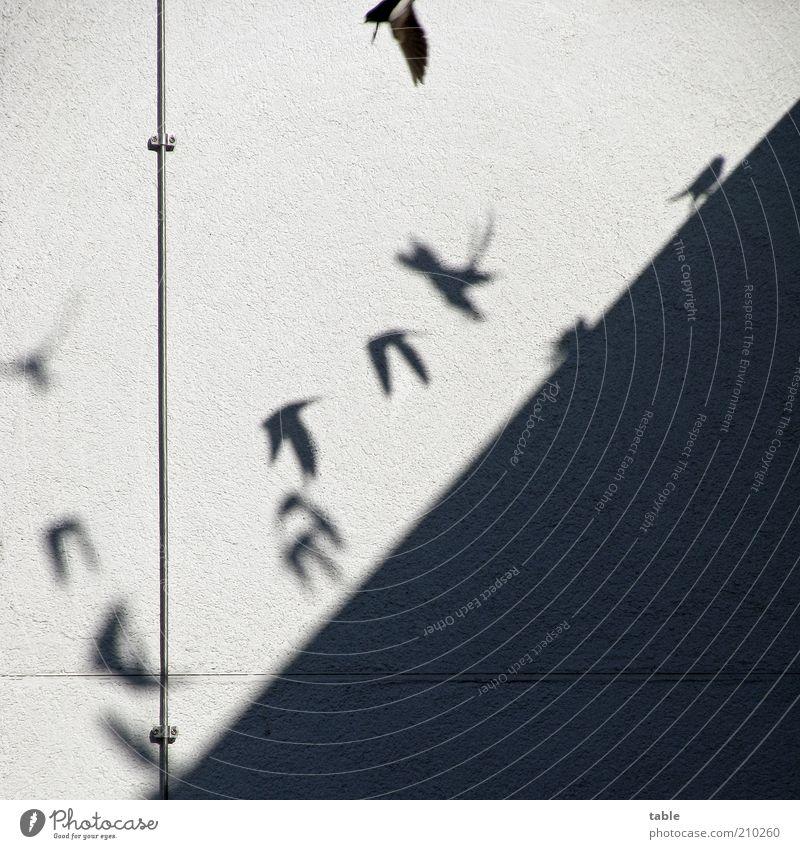 Flugschule Blitzableiter Tier Schönes Wetter Mauer Wand Fassade Wildtier Vogel Mauersegler Schwalben Tiergruppe Schwarm fliegen Spielen frei Fröhlichkeit