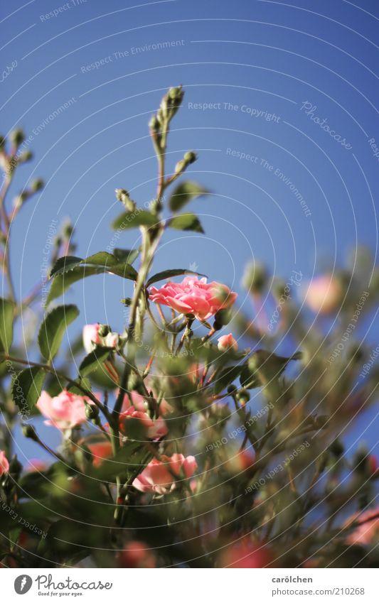 a rosa Rose Natur Pflanze Blume Blüte Wildpflanze wild blau grün Rosenstrauch Strauchrose zentral Romantik Farbfoto Außenaufnahme Menschenleer Textfreiraum oben