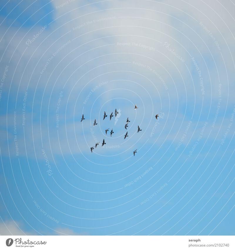 Taubenschwarm Vogel Tier Schwarm fliegen Himmel fliegend Vogelflug Wolken Niveau Tiergruppe Ornithologie Wildtier flattern Feder Natur Umwelt Vogelschwarm