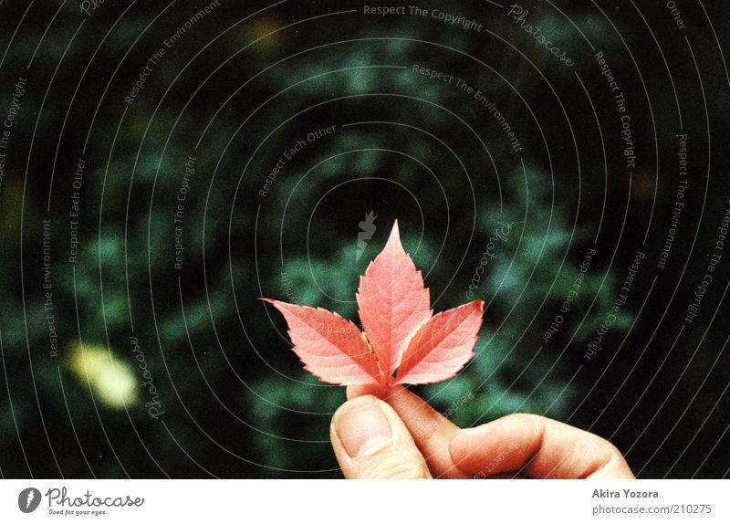 Langsam wird es Herbst! Natur grün rot Blatt schwarz Einsamkeit Farbe klein nah natürlich Mitte festhalten entdecken Daumen