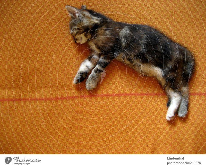Babykatze, die im Traum fliegt ruhig Tier Erholung träumen Katze Zufriedenheit orange klein schlafen liegen Fell Decke Haustier Vogelperspektive Hauskatze