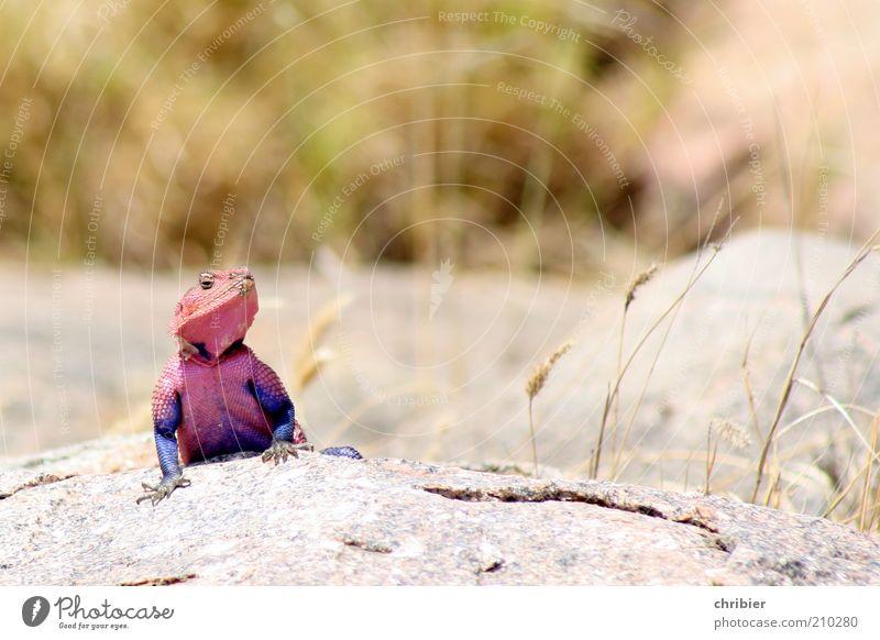Muskelmacho! Natur blau Tier Leben rosa Felsen Tiergesicht Afrika violett beobachten außergewöhnlich Neugier entdecken Wachsamkeit exotisch selbstbewußt