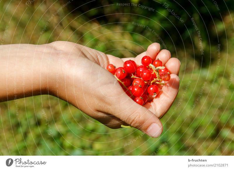 Handvoll Ribisel Frucht Bioprodukte Junge Finger 3-8 Jahre Kind Kindheit Natur Sommer frisch Gesundheit grün rot Freizeit & Hobby Johannisbeeren Beeren haltend