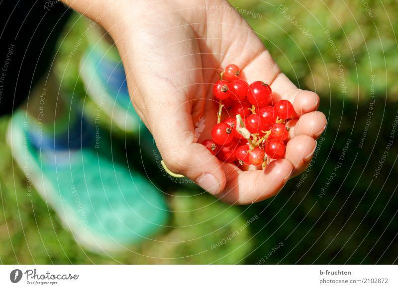 Willst du welche? Frucht Kind Junge Hand Finger 3-8 Jahre Kindheit festhalten rot Begierde Johannisbeeren Garten Ernte reif Beeren Beerensträucher pflücken